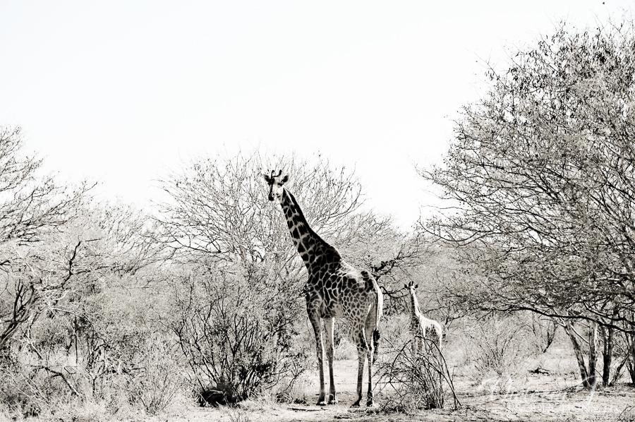 Africa-Madikwe-small-145