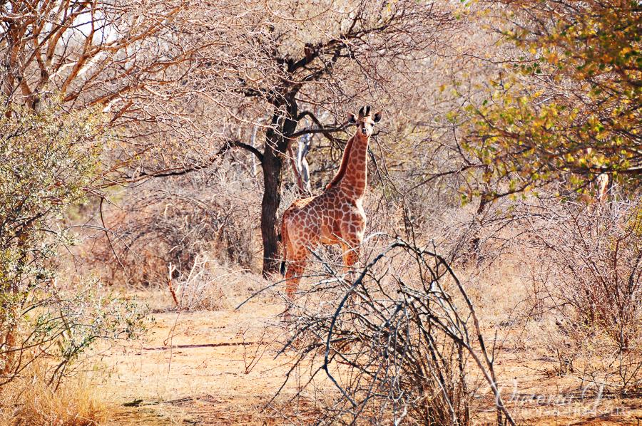 Africa-Madikwe-small-146